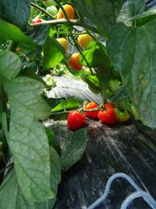 今が旬のトマトベリー 甘味が強い小粒のトマトです