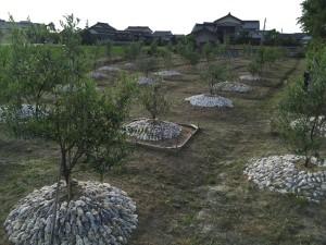 作業が終わって、見た目もスッキリした当ファームのオリーブ畑