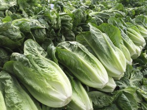 普通のレタスに比べて細長く、ちょっと白菜と間違えそうなロメインレタス。