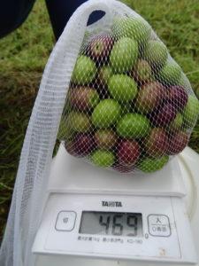 一本ごと、品種ごとに収量を計測します