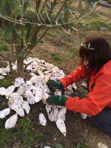 牡蠣殻を一枚一枚、オリーブの根元に敷き詰める寺田社長。 必死なんだけど・・・。