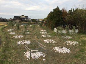剪定と雪吊り、牡蠣殻もまき、オリーブ畑はすっかり冬の装い