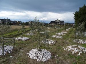 冬のはじめに強剪定してサッパリしたオリーブ畑。根元にまいてあるのは牡蠣殻