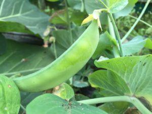 収穫時期をずらして栽培しているスナップえんどう