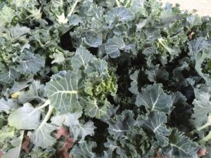 芽キャベツとケールを交配した栄養価の高いプチヴェール