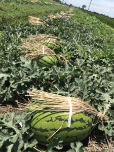 畑には日よけの藁帽子をかぶった入善ジャンボ西瓜がズラッと並びます