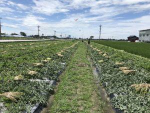 畑にズラッと並ぶ入善ジャンボ西瓜