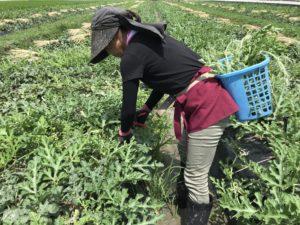 発育旺盛な西瓜。暑い中、脇芽を摘み取り不要な実を間引く作業が毎日続きます。