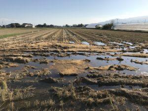 雨の影響で刈り入れ後の田んぼもこんな状態