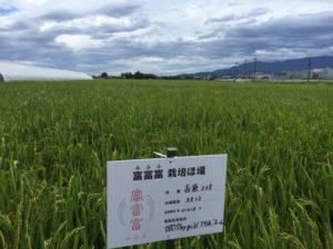 富山の新品種「富富富」圃場